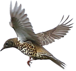 Mistle Thrush in flight